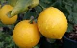 lemons beauty